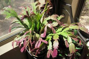 Why Is My Christmas Cactus Turning Purple?