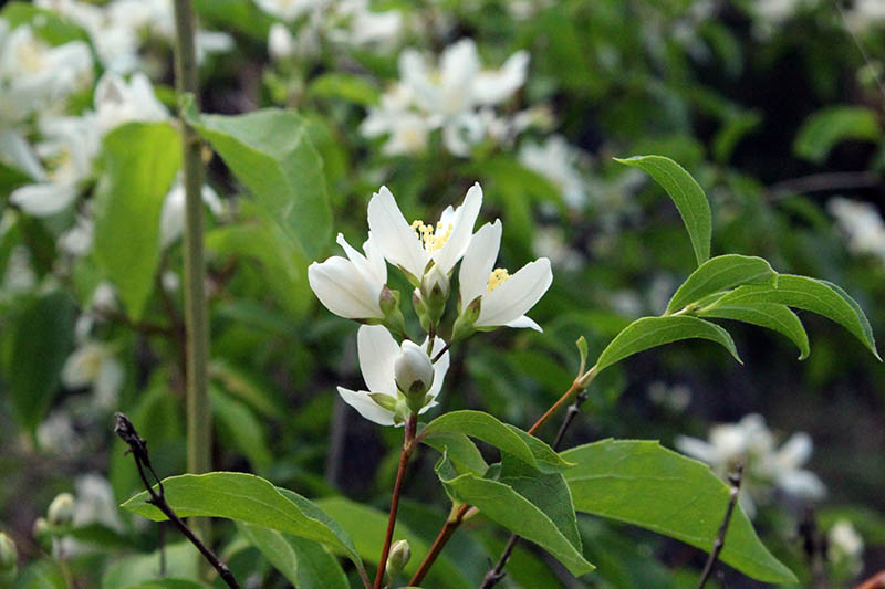 A close up horizontal image of the pretty white flowers of the Philadelphus (mock orange) shrub, growing in the garden pictured on a soft focus background.