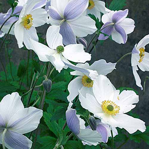 A close up square image of 'Wild Swan' anemones growing in the garden pictured on a soft focus background.