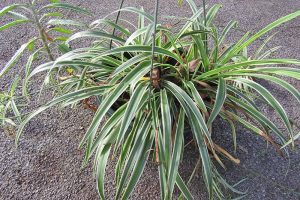 How to Revive a Wilting Spider Plant