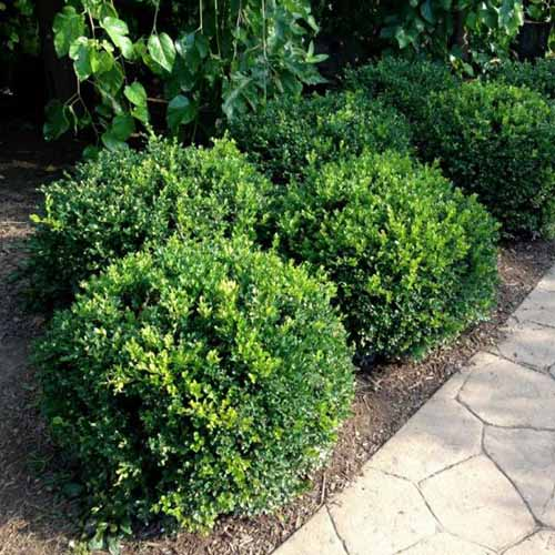 A close up square image of small Buxus 'Winter Gem' shrubs planted beside a walkway, pictured in light sunshine.