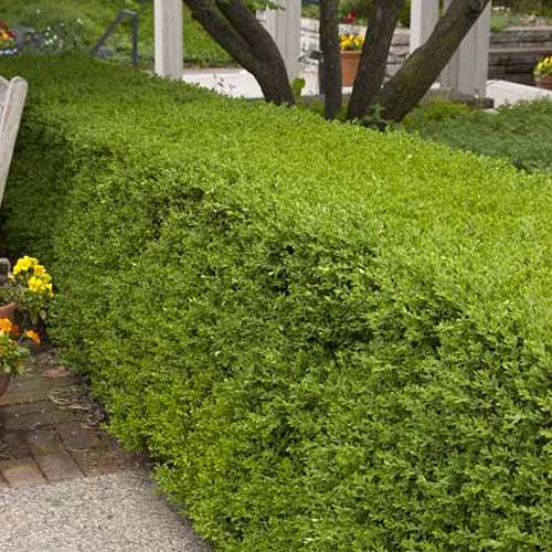 A close up square image of a Buxus microphylla var koreana 'Wintergreen' pruned into a hedge.