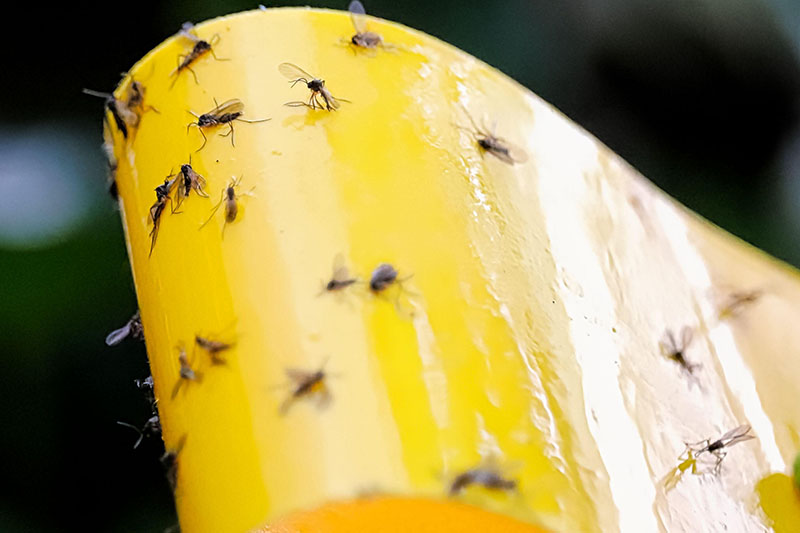 A close up horizontal image of fungus gnats stuck to a yellow sticky trap, pictured on a dark soft focus background.