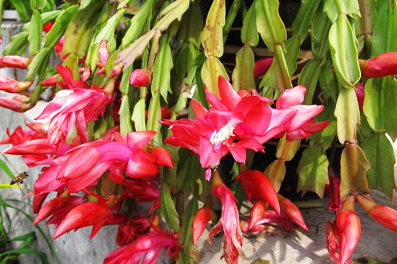 A close up horizontal image of a Schlumbergera with bright red flowers pictured in a concrete container in light sunshine.