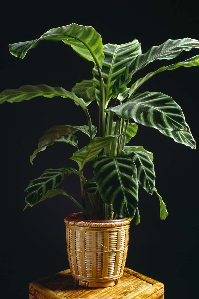 A close up vertical image of a Goeppertia zebrina prayer plant growing in a decorative pot set on a plant stand and pictured on a dark soft focus background.