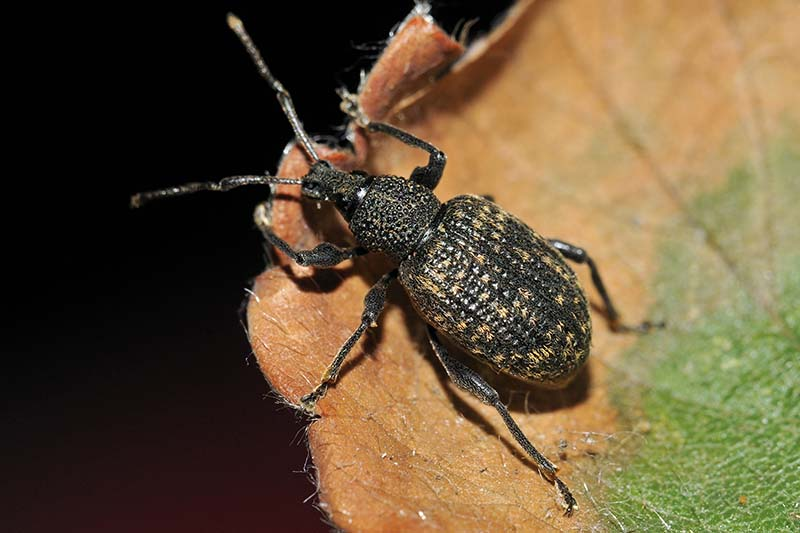 A close up horizontal image of an adult vine weevil munching away on foliage pictured on a dark background.