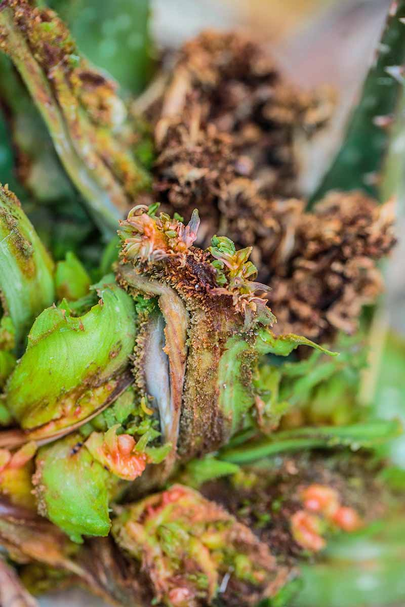 A close up vertical image of a succulent plant suffering from aloe gall caused by a mite (Eriophyes aloinis).