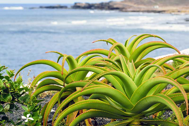 A close up horizontal image of succulent plants growing on a cliffside by the ocean.