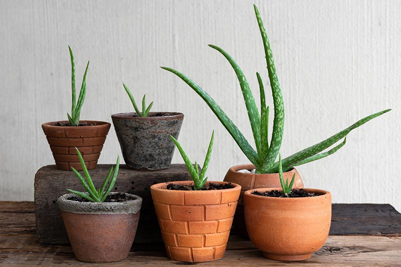 A close up horizontal image of succulent plants of various sizes growing in small terra cotta pots arranged on a wooden surface.