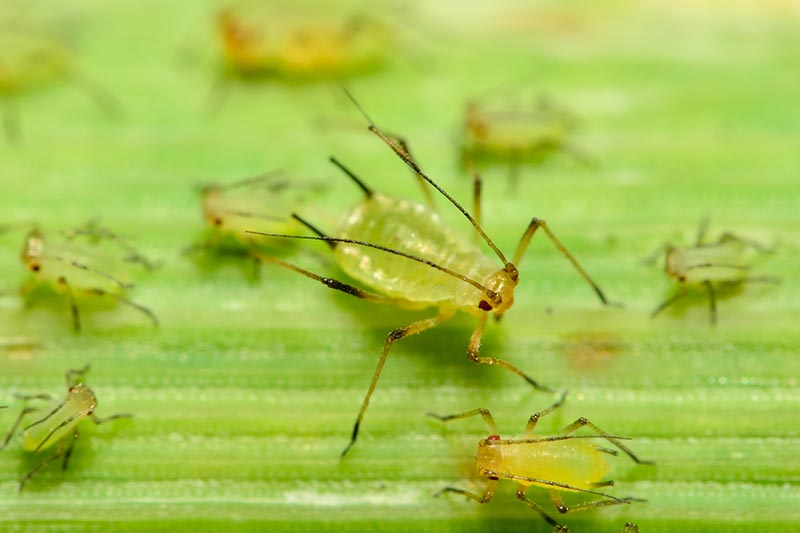 A close up horizontal image of a family of aphids infesting the leaf of a houseplant.
