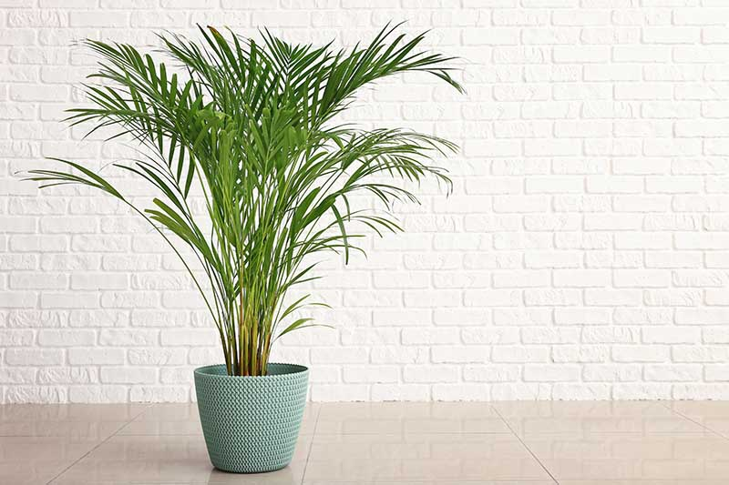 How To Grow And Care For Areca Palm Gardener S Path