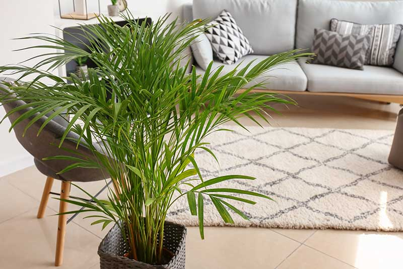 A close up horizontal image of a Dypsis​ ​lutescens​ displayed in a decorative pot in the living room.