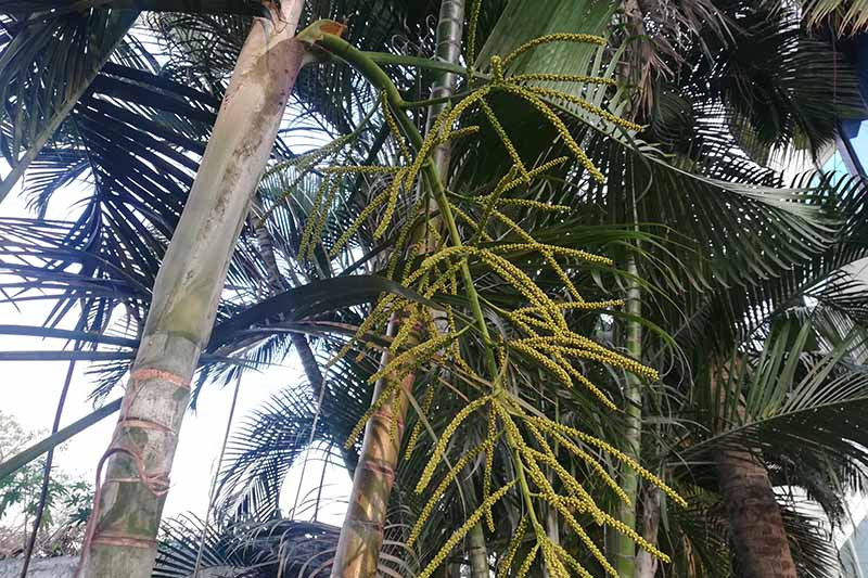 A horizontal image of a Dypsis​ ​lutescens​ palm tree growing outdoors in its natural environment.
