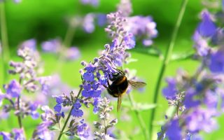A close up horizontal image of a bee feeding on purple flowers in the spring garden pictured in bright sunshine on a soft focus background.