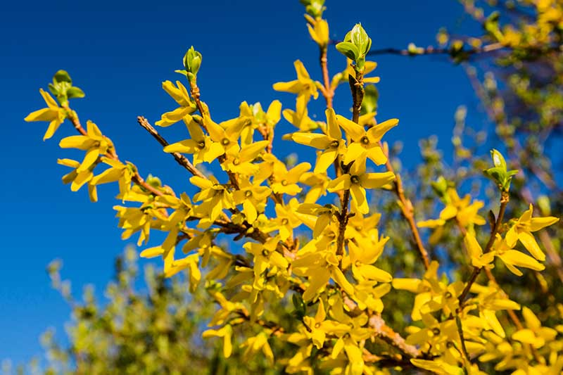 A close up horizontal image of the bright yellow flowers of spring-blooming forsythia pictured in bright sunshine on a blue sky background.