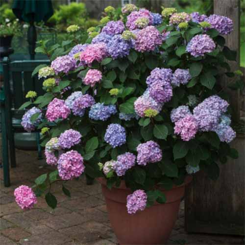 A close up square image of 'Bloom Struck' hydrangea growing in a pot on a patio with chairs in soft focus in the background.