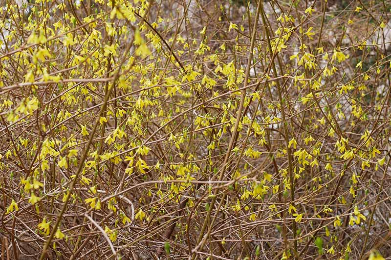 A close up horizontal image of a forsythia bush covered in bright yellow spring flowers, pictured on a soft focus background.