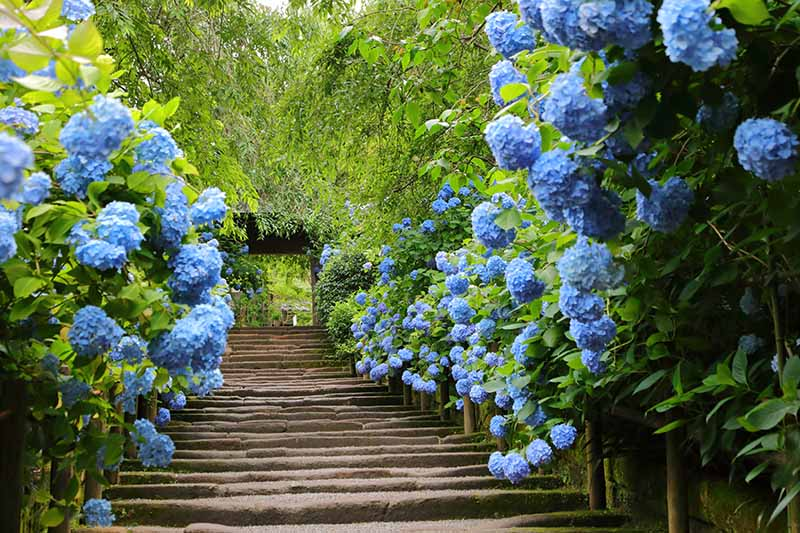A close up horizontal image of a pathway flanked by flowering shrubs and trees, leading to an archway.