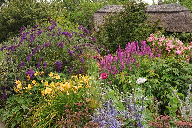 A horizontal image of a cottage garden filled with pollinator-friendly flowering plants and shrubs, with a thatched house in the background.