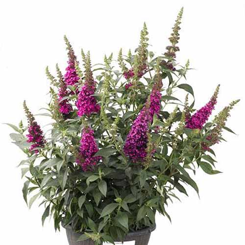 A close up square image of Buddleia 'Buzz Hot Raspberry' growing in a small container pictured on a white background.