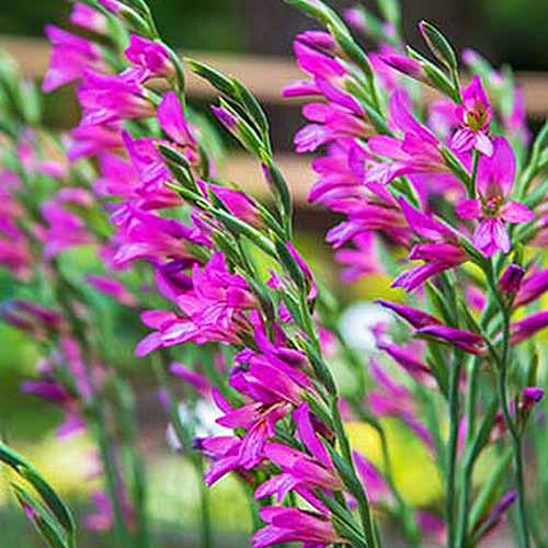 A close up square image of purple Byzantine gladioli growing in the garden pictured on a soft focus background.