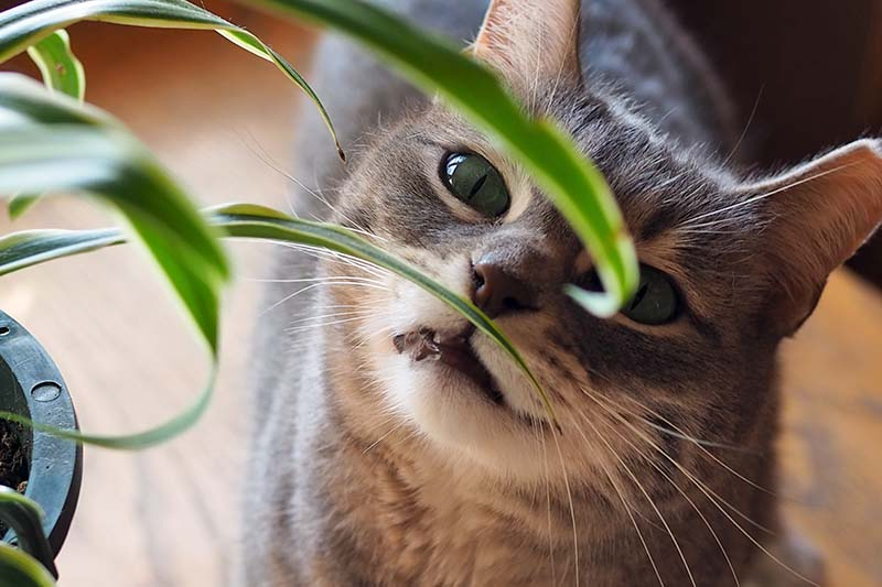 A close up horizontal image of a dark gray moggie checking out some foliage indoors.