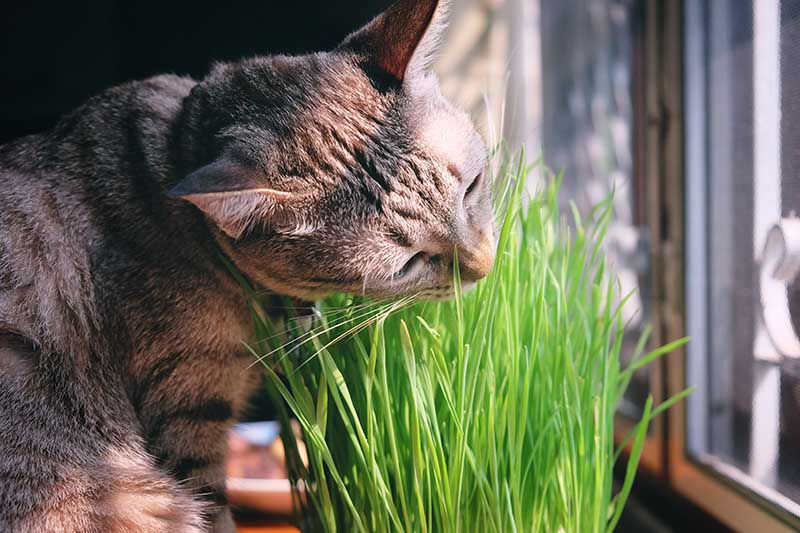 A close up horizontal image of a housecat eating pet grass on a windowsill, pictured in light sunshine.