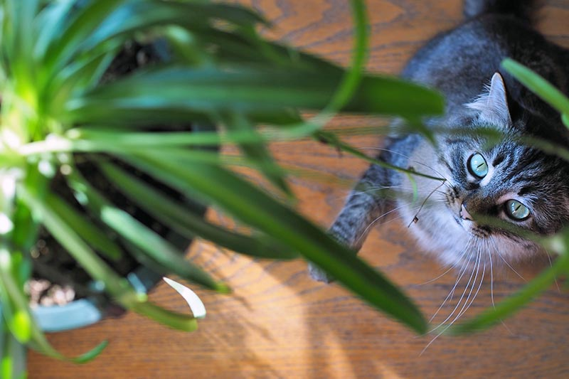 A close up horizontal image of a dark gray tabby engaged in some exuberant play with a spider plant.