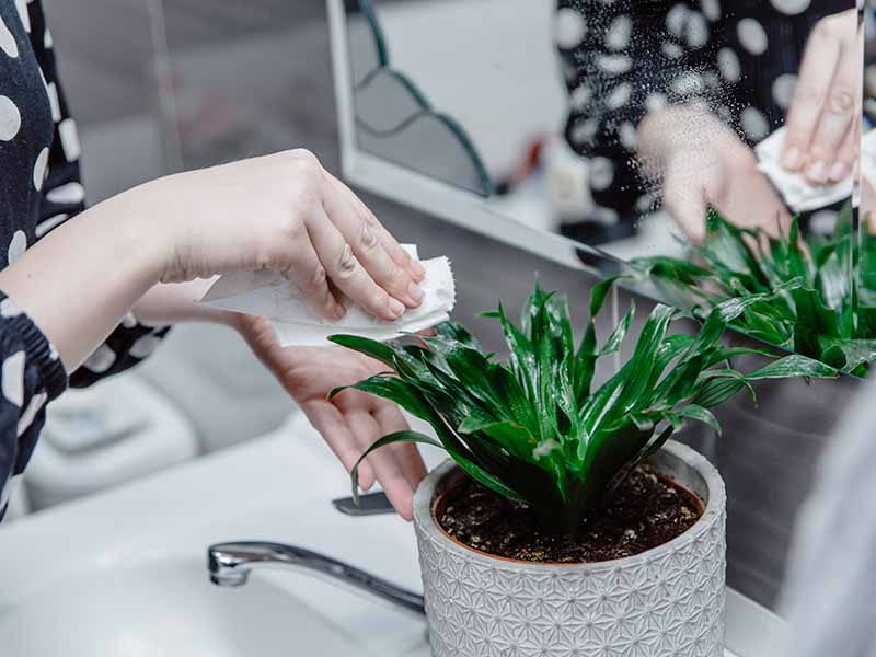 A close up horizontal image of two hands from the left of the frame using a tissue paper to wipe the leaves of a small green houseplant placed on the side of a bathroom vanity.