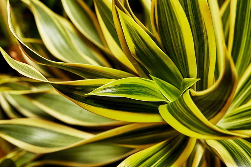 A close up horizontal image of the variegated foliage of a dracaena plant growing indoors pictured on a soft focus background.