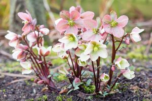 How to Identify and Treat Hellebore Diseases