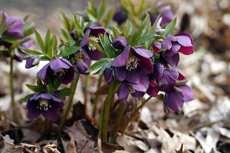 A close up horizontal image of dark purple hellebore flowers growing in the garden pictured on a soft focus background.