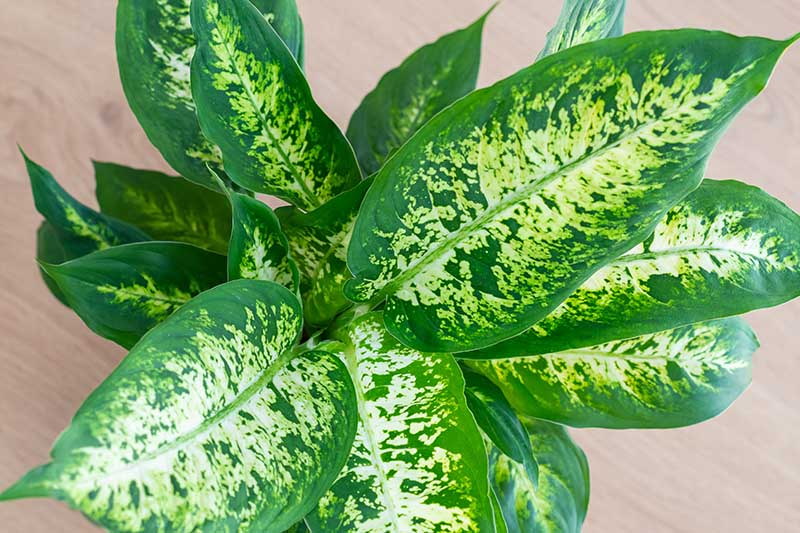 A close up horizontal image of a Dieffenbachia plant with elegant variegated foliage growing in a pot indoors, set on a wooden surface.