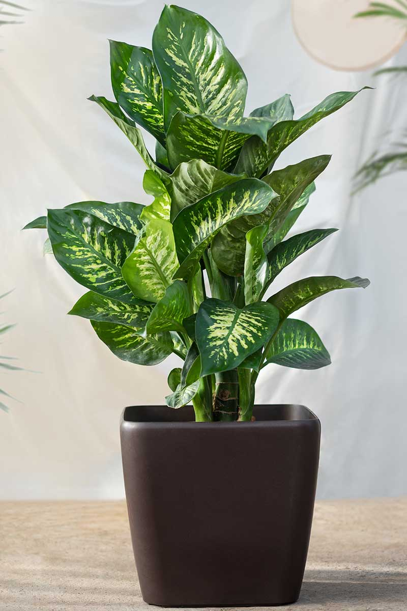 A close up vertical image of a large dumb cane plant growing in a brown ceramic pot set on a wooden surface.