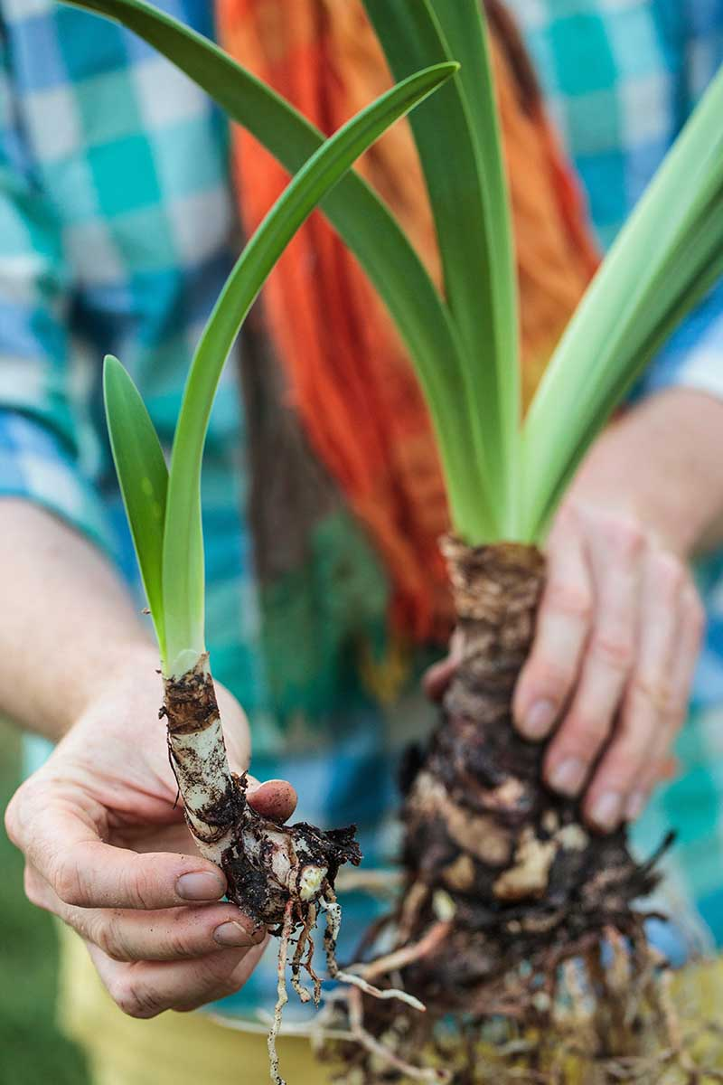 A close up vertical image of two hands showing a offset from a Hippeastrum plant growing in the garden.