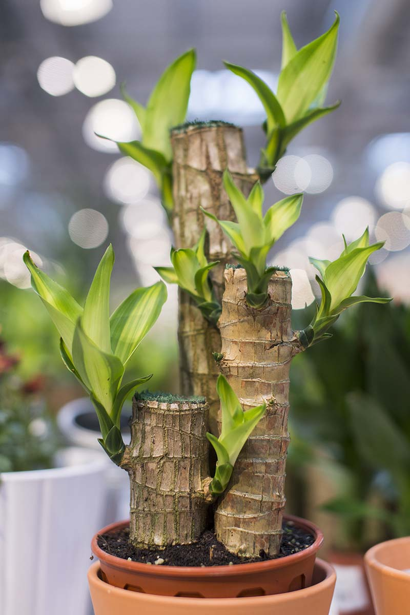 A close up vertical image of the stems of a houseplant with new growth appearing where it has been cut down, pictured on a soft focus background.