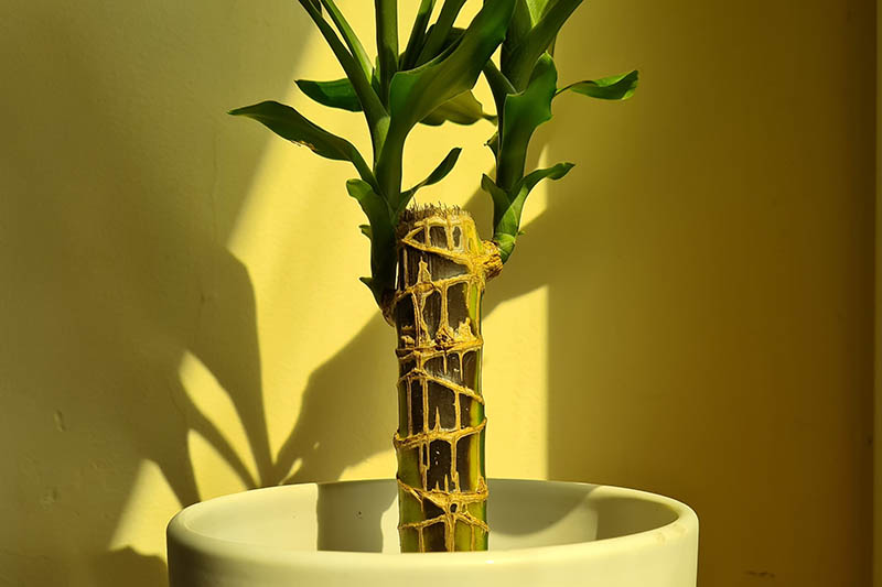 A close up horizontal image of a dracaena plant growing in a small white pot with sections of its stem turning black as a result of disease.