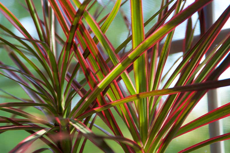 A close up horizontal image of the red and white variegated foliage of a dracaena houseplant growing in a pot in indirect light, pictured on a soft focus background.
