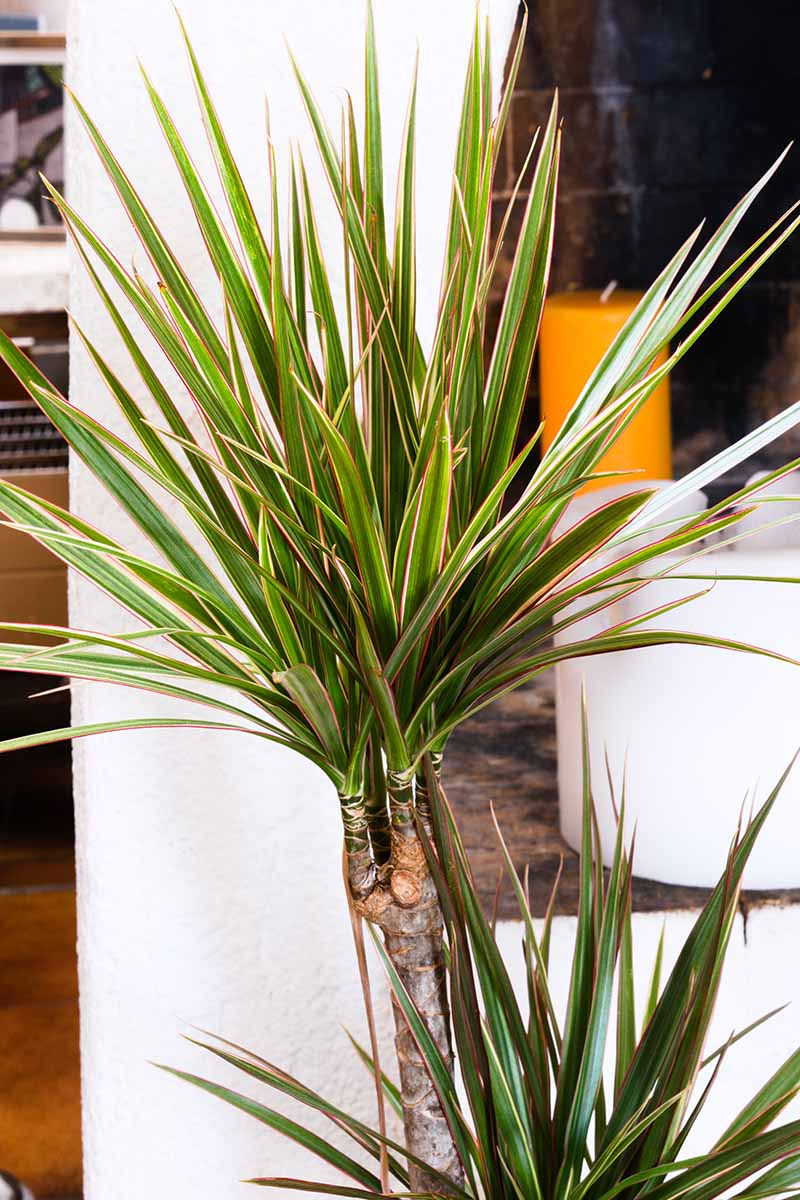 A close up vertical image of a dracaena houseplant growing in a pot with furniture in soft focus in the background.