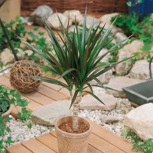A close up square image of a small Dracaena plant growing in a terra cotta pot on a wooden deck with a rock garden in soft focus in the background.