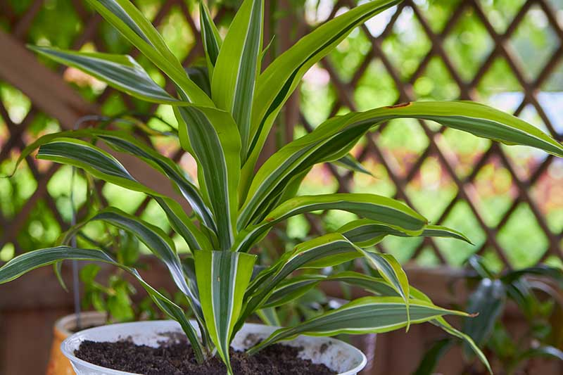 A close up horizontal image of a dracaena plant with dark and light green variegated foliage, growing in a small pot indoors in a location with indirect light pictured on a soft focus background.