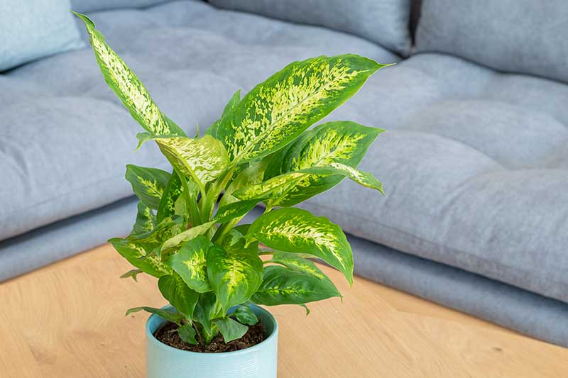 A close up horizontal image of a small dumb cane plant growing in a pot indoors set on a wooden surface, with a sofa in soft focus in the background.