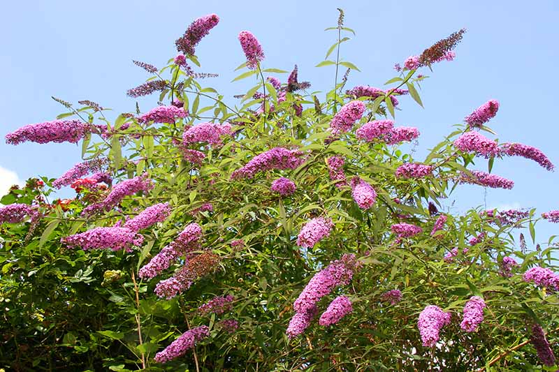 A close up horizontal image of a large flowering butterfly bush growing in the garden pictured in bright sunshine on a blue sky background.