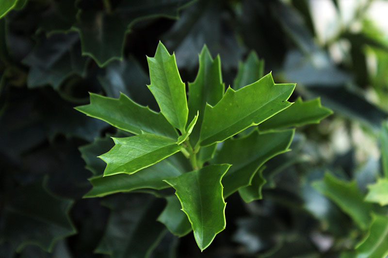 A close up horizontal image of the unique foliage of Ilex x 'Conaf' growing in the garden, pictured on a soft focus background.