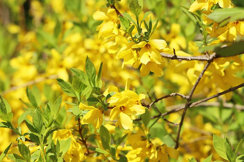 A close up horizontal image of the bright yellow blooms of forsythia pictured in bright sunshine on a soft focus background.