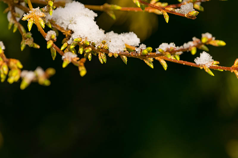 A close up horizontal image of a branch covered in a light dusting of snow pictured on a dark soft focus background.