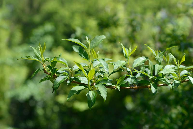 A close up horizontal image of a branch of a bush with an abundance of green foliage, pictured in light sunshine on a soft focus background.