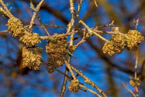 How to Manage Forsythia Gall Disease