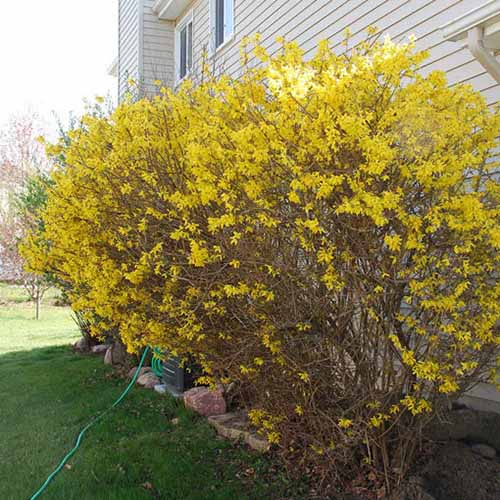 A close up square image of a large forsythia shrub growing as a foundation planting with a residence in the background.