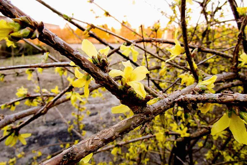 A close up horizontal image of a forsythia shrub bursting into bloom in early spring pictured in light sunshine on a soft focus background.